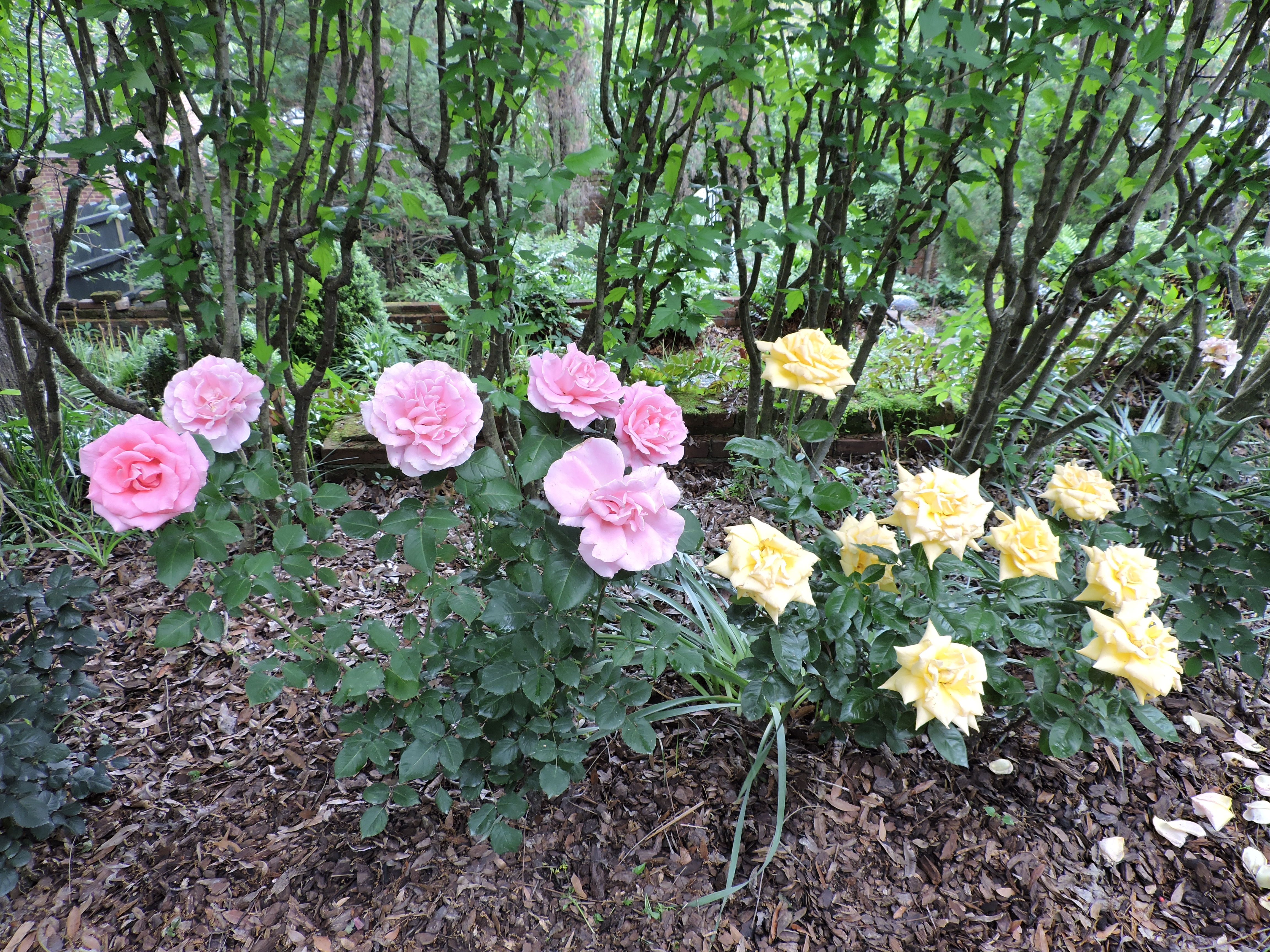 heirloom rose garden at the Burgwin-Wright House